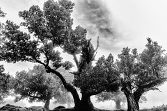 Trees of Knowledge - Explore # 124 (**capture the essential**) Tags: 2017 sonye18200mmoss pauldaserralowlands lorbeer sonynex7 fog mist wetter foggy island insel nebel madeira wolkenclouds laurel