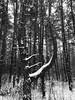IMG_2442 (@XIII) Tags: tree alberi rami ramo apple iphone7 bnw blackandwhite poland polonia polska biancoenero bw bn snow snieg neve bialystok