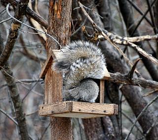 ATM for Squirrels --- Eichhörnchen-Bankomat --- Cajero automático para ardillas