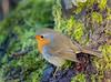 Robin at Leighton Moss (kenemm99) Tags: 5dmk3 birds leightonmoss canon winter lancashire kenmcgrath robin