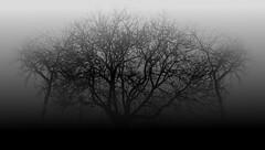 Three trees in the fog. (lucianomandolina) Tags: baum tree schwarz black dunkel dark fog nebel finster