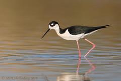 Black-necked Stilt (Matt Shellenberg) Tags: blacknecked stilt blackneckedstilt riparian preserve water ranch arizona gilbert shorebird wading