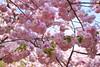 Cherry Blossom (YY) Tags: hirosakicastle cherryblossom festival aomori japan 弘前城 弘前 青森 日本 sakura flowers park