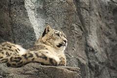 (bored now.) Tags: schneeleopard zooleipzig snowleopard bigcats animals