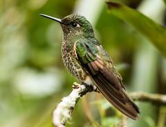 IMG_3102  Buff-tailed Coronet_hummingbird (ashahmtl) Tags: bufftailedcoronet bird hummingbird coronet boissonneauaflavescens guangolodge napoprovince ecuador