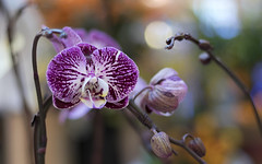 Purple Speckled Orchid (Xiao-Bu) Tags: canoneossl2 ef50mmf18stm orchid purple spotted speckled bokeh depthoffield