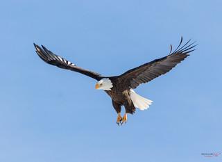 Bald Eagle at A.G.T
