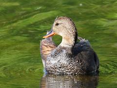 Gadwall (pamfromcalgary) Tags: birds bird waterfowl gadwall nature bridlewoodwetlands pamhawkes