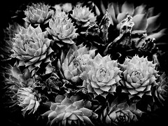 (georgekells) Tags: succulent plants growth leaves leaf nature horticulture garden shapes details beauty tones tonalcontrast contrast uncropped bw mono monochrome textures blackandwhite gx8 lumix panasonic structure