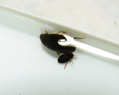 IMG_9634 (td965771) Tags: dytiscidae