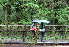 Friday Colours - Spring Rain in Japan (Pushapoze (nmp)) Tags: japan japon hakone fence happyfencefriday bench happybenchmonday spring umbrella rain green