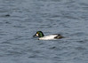 Goldeneye ( Bucephala clangula ) (Dale Ayres) Tags: goldeneye bucephala clangula male bird nature wildlife