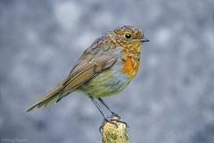 IMG_0391 (padraig thornton) Tags: young robin red breast european light outdoor natural nature colorful closeup canon 7d wildlife bird birdwatching garden padraig thornton manorhamilton coleitrim ireland greatphotographers