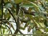 Speckled Piculet (Picumnus innominatus) (gilgit2) Tags: avifauna birds canon canoneos7dmarkii category fauna feathers geotagged haripur imranshah kpk location neelankhas pakistan species speckledpiculetpicumnusinnominatus tags tamron tamronsp150600mmf563divcusd wildlife wings gilgit2 picumnusinnominatus