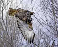 Hawk in Flight #100 (lennycarl08) Tags: sacramentonwr california northerncalifornia raptor birds bird birdofprey hawk redtailedhawk