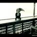 Photograph by Oskar Speck depicting a hornbill on a verandah railing