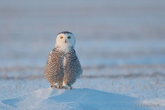 Preacher's pulpit (Earl Reinink) Tags: owl raptor predator bird animal flying wings eyes outside cold winter snow landscape earl reinink earlreinink nikon snowyowl ehtddaadza