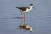 Black-necked Stilt (Turk Images) Tags: blackneckedstilt gilbertriparianpreserve himantopusmexicanus arizona bnst birds gilbert recurvirostridae shorebirds waders wetlands