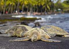 Turtles in black sand beach (xubean) Tags: hawaii hawaiiisland photography nepaliphotographer nepali