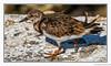 Walkabout (Robert Streithorst) Tags: bird cozumel mexico walking oasis seas robert streithorst