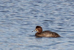 Redhead Duck on Lake of the Lilies (Tombo Pixels) Tags: lakeofthelillies pointpleasant180085 redhead duck bird nj newjersey twb1 audubon pointpleasant lakeofthelilies