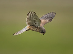 Common Kestrel Hovering - 2 (Chris Bainbridge1) Tags: falco tinnunculus common kestrel cambridgeshire hovering
