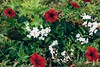 Red and white flowers (WillemijnB) Tags: bloom flowers red white lush bush france garden