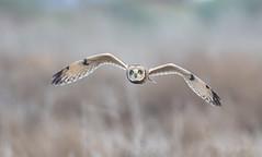Short eared owl (knobby6) Tags: shortearedowl birdofpreyl owl california nikond5 500mmf4 shorty