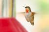Light-hearted (Andrew_Leggett) Tags: hummer hummingbird love heart loving annashummingbird calypteanna bird feeder faceon red redthroated crimson nature natural wild wildlide california valentine humour fun saintvalentine stvalentine