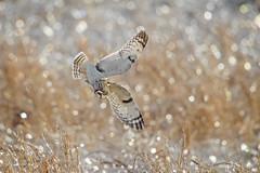 Attack of The SEO...{Explored} (DTT67) Tags: shortearedowls owls seo animal wildlife nature hunting fields canon 1dxmkii canon1dxmkii 500mm 2xtciii bokeh shortearowl