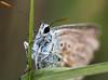 Azuré bleu au bois de morval (Gaulthi3r) Tags: argusbleu macro papillon