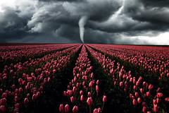 Tulpensturm (Gruenewiese86) Tags: bã¶rde sonnenuntergang tulpen sonne börde sturm tornado storm run landschaft