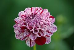 RUS63976(Dahlia. So mottled appearance) (rusTsky) Tags: winner plant nature blossom beauty green garden sunny summer red mottled motley color colour bokeh canon eos5d