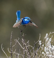 Time for a dance... (Mykel46) Tags: birds nature wildlife sony a9 100400mm