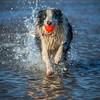 Will (Chris Willis 10) Tags: dogsbeachbaileywill dog pets purebreddog canine outdoors bordercollie animal running fun playing water retrieving summer jumping playful action nature sheepdog motion domesticanimals ball