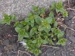 道端の雑草も花をつけだした (nofrills) Tags: white whiteflowers whiteandgreen green weed weeds tiny roadside オランダミミナグサ chickweed