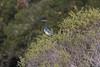 IMG_3409 (armadil) Tags: edgewoodpark bird birds jay jays scrubjay