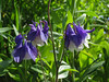 CKuchem-5888 (christine_kuchem) Tags: akelei blüte blüten garten insekten nahrung natur naturgarten nektar pflanze privatgarten schatten schattengarten selbstaussaat sommer wildpflanze blau lila naturnah natürlich wild zweifarbig