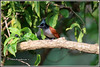 7521 - Indian paradise flycatcher (chandrasekaran a 44 lakhs views Thanks to all) Tags: indianparadiseflycatcher flycatcher birds nature india chennai canoneos6dmarkii tamronsp150600mmg2