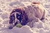 Hector (Barry Folan) Tags: dogportrait dogphotography dogphotographer dogs portrait cocker cockerspaniel tamron pentaxart pentaxk1 pentaxian mansbestfriend winterwonderland winter snow