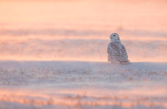 Snowy Owl Michigan_E1U8218 Jan 2018 (www.sabrewingtours.com) Tags: snowy owl backlit back light snow pink white upper peninsula michigan up mi winter sabrewing nature tours snt brian zwiebel bz sunset glow