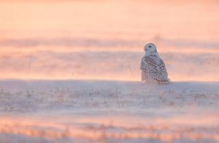 Snowy Owl Michigan_E1U8218 Jan 2018
