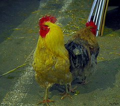 Two roosters (vorotnik1) Tags: roosters birds colors market