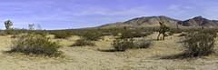 Little Butte Panorama (joe Lach) Tags: littlebutte saddlebackbuttestatepark panoramic panorama mojavedesert mohavedesert butte hill mountain joshuatree sand yellow green blue antelopevalley california joelach