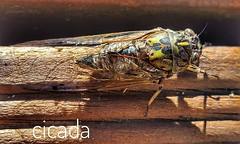 Cicada #summer #evening (easegill) Tags: ifttt instagram