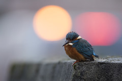 Common Kingfisher (Daniel Trim) Tags: common kingfisher king fisher bird birding urban town city lights alcedo atthis photography hertfordshire