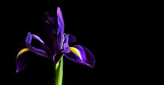 Iris 2 (andycurrey2) Tags: colours purple yellow green pretty flower floral nature light shade portrait indoor canon digital macrodreams