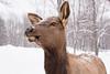 Curious Elk (Ben_Senior) Tags: montebello quebec canada parcomega winter snow snowing animal largeanimal animalparc animalpark elk bison deer female male bensenior drivethru nikond7100 nikon d7100 animalpreserve