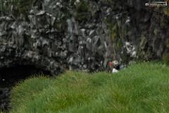 Lundi (dieLeuchtturms) Tags: lunde alkenvögel ingólfshöfði europa austurland island 3x2 wirbeltiere regenpfeiferartige skeiðarársandur papageitaucher europe fraterculaarctica iceland puffin