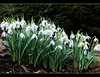 BetterThan Snow (Explore) (FernShade) Tags: snowdrops flowers flora garden vancouverparksboardgarden nature outdoors ngc